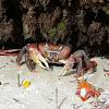 Land Crab Zanzibar (?)