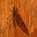 Brown drake mayfly