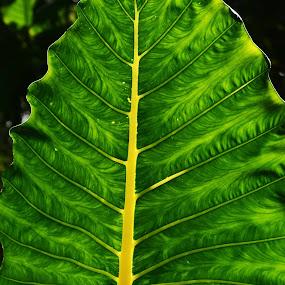 Light Leaf by Larry Crawford - Nature Up Close Leaves & Grasses ( back liite, green, big leaf, hawaii,  )