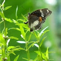 Great eggfly - female