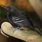 Rio Branco Antbird