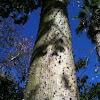 Árbol botella. Silk floss tree