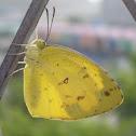 檗黃粉蝶  Three-spot Grass Yellow