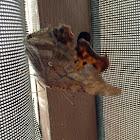 Eastern Comma buttterfly