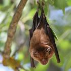 Horseshoe Bat