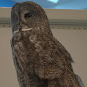 Great Gray Owl (female)