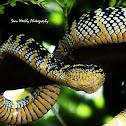 Wagler's Pit Viper (Female)