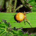 Marble Orb Spider