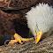 1-Male-Beak-Cleaning.jpg