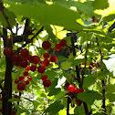 Groseillier rouge