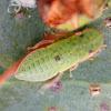 Green Flat-headed Leafhopper