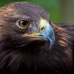 Golden Eagle by Andrea Silies - Animals Birds ( bird, eagle, golden eagle,  )