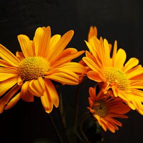 by Micky Mihalache - Flowers Flower Arangements ( orange, autumn flowers, fall, chrysanthemums, flowers )
