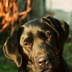 Confused by Milan Milosevic ヅ - Animals - Dogs Portraits ( sad, confused, puppy, labrador, dog, portrait, black )