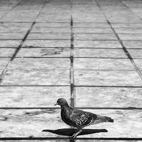 Pigeon by Ricardo Rocha - Animals Birds ( bird, pigeon, black and white, lines, lisbon )