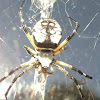 Black and Yellow Argiope