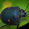 Spotted Shield Bug