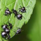 Green Stink Bug Nymphs