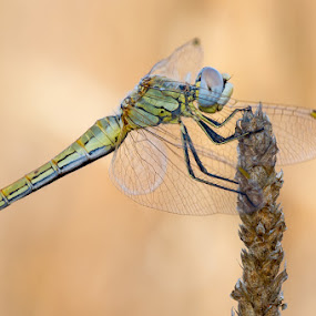 Dragonfly by Marco Carotenuto - Animals Insects & Spiders ( macro, libellula, insects, dragonfly,  )