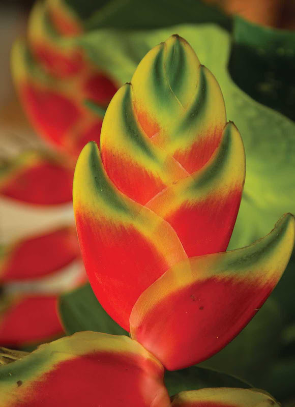 A heliconia plant, a vividly colored tropical plant spotted all around Jamaica.