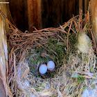 Carolina chickadee with nest