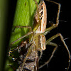 Striped Lynx Spider