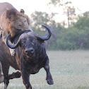 Lions kill buffalo