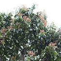 Vateria copallifera (Dipterocarpaceae)