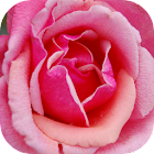 Free Roses HD Wallpapers icon