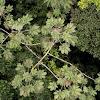 Cecropia tree and Azteca ants.