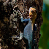 Kenyan Rock Agama Lizard