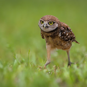 The Walk .. by Liza Chevres - Animals Birds ( burrowing owl,  )