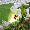 Okra (Flower)