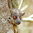 Red Tailed Weasel Lemur