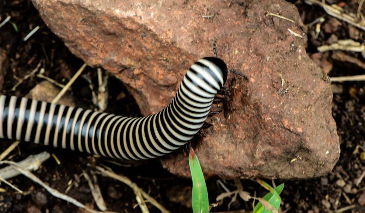 Zebra milipede