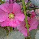 Pink Hollyhock Flower