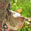 American Rosefinch