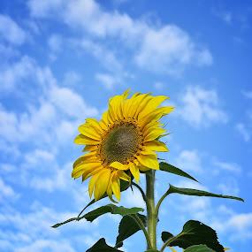 sun flower by Casper Prie - Flowers Single Flower