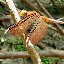 Fulvous Forest Skimmer (female)