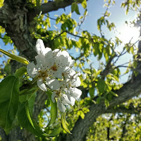 springtime pear blossoms  by Debbie Sodeman-Roelle - Flowers Tree Blossoms ( washington, wenatchee, trees, sunlight, spring, blossoms, pear,  )