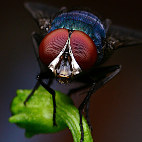 ~The Eye of Fly~ by Shohibul Huda - Animals Insects & Spiders ( macro, nature, macro photography, fly, insect, close up, eye, animal,  )