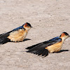 Swallow, Red-rumped Swallow