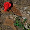 Corn poppy, amapola
