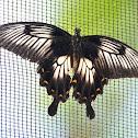 Ascalaphus Swallowtail