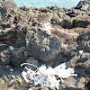 Galapagos Sealion Skeleton