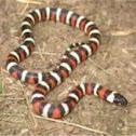 California mountain king snake