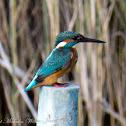 Kingfisher, Martín Pescador, f
