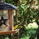 Lesser Goldfinch