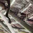 Yellow Bellied Whipsnake