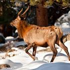 Elk (Wapiti)